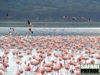 Flamingor. (Lake Nakuru National Park, Kenya)